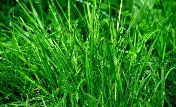 frischer Rasen