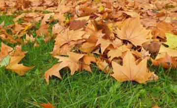 Den Rasen von Blättern befreien hat gleich zwei Vorteile: Der Rasen wird belüftet und Kleintiere finden im aufgesammelten Laubhaufen Schutz vor Kälte ©SC